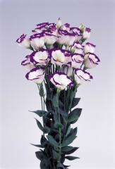 Rose (eustoma) of piccolo® 1 blue rim f1, sakata