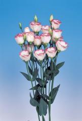 Rose (eustoma) of piccolo® 1 pink rim f1, sakata