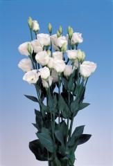 Rose (eustoma) of piccolo® 2 pure white f1, sakata