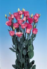 Rose (eustoma) of piccolo® 2 rose pink f1, sakata