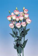 Rose (eustoma) of piccolo® 3 pink rim f1, sakata