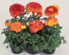 Buttercup Asian bloomingdale orange bicolour f1,