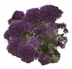 Trakhelium of passion deep purple, sakata of 1 000