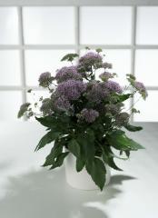 Trakhelium of passion lilac, sakata of 1 000