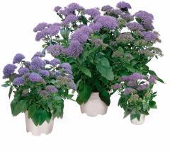 Trakhelium of passion violet, sakata of 1 000