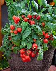 Tomato decorative red robin f1, sakata of 1 000
