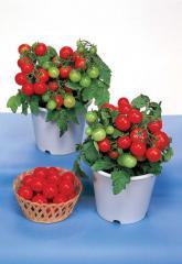 Tomato decorative red robin gspp f1, sakata of 1