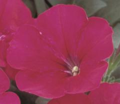 Petunia melkotsvetkovy merlin cherry rose f1,