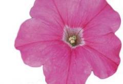 Petunia melkotsvetkovy merlin pink f1, sakata of 1