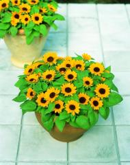 Sunflower decorative sunbright kids, sakata of 1