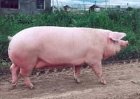 Поросята, свинина, БВД, рыбная мука (концентрат),