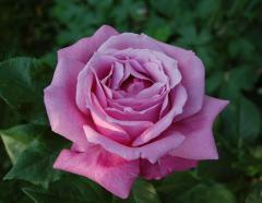 Розы чайно-гибридные Blue parfume