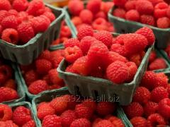 Fresh berries of raspberry