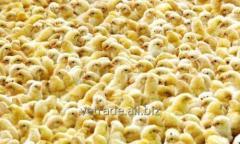 Суточный цыпленок бройлера РОСС-З08