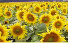 Sunflower hybrid seeds (sonyashnik)