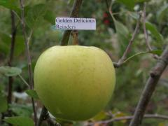 Саженцы яблони Голден Делишес Рейндерс