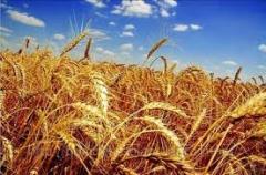Посевной материал озимой пшеницы