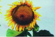 Семена подсолнечника Донской крупноплодный