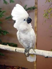 Cockatoo of various types