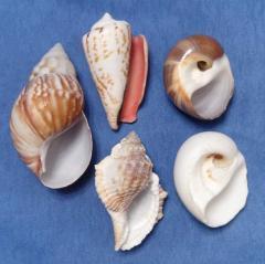 Ассорти из морских ракушек 4,5 - 7.6