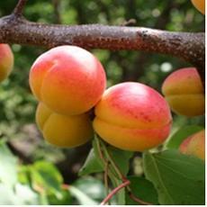 Apricot of Harkot.