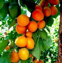 Robad's apricot.