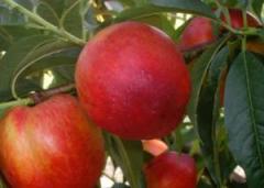 Nectarine Harbleyz.