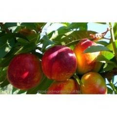 Nectarine of Nektored-4