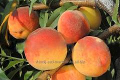 Peach Vayn Gold