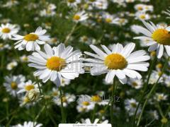 Camomile garden