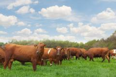 Breeding pregnant heifers