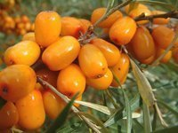 Sea buckthorn oil, sea buckthorn +1 718 200 82 24