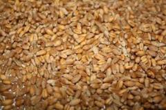 Пшеница фуражная, превозка, закупка, хранение зерновых и масличных культур