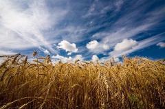Покупаем ячмень, пшеницу, кукурузу, семечку, сою