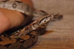 Manual reptiles. Nontoxic snakes