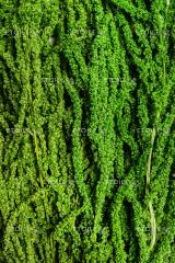 The amaranth is green