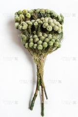 Bryuniya Albiflora is green gray