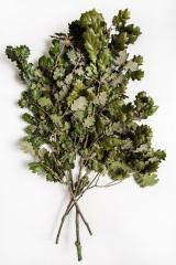 Branch oak green