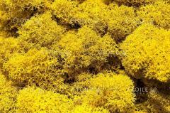 Мох Ягель Желтый Коробка с окном 500 гр