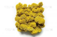 Moss Reindeer lichen Yellow Box with a window 500