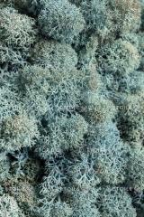 Moss Ays Bla Korobk's Reindeer lichen with a