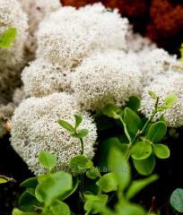 Moss Reindeer lichen Natural Box with a window 500