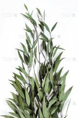 Nicoli eucalyptus green