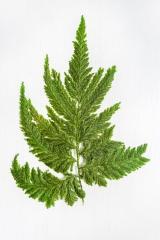 Perot's fern green