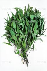 Pendula eucalyptus green