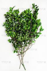 Branch pittosporum green