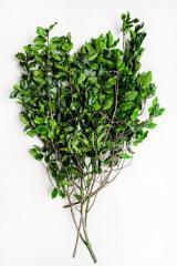 Branch pittosporum green Code. PIT/0103