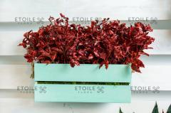 Branch pittosporum red Code. PIT/0303