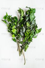 Branch ivy green