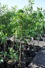 Saplings of fruit trees